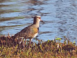 Southern Lapwing by Cassiaa