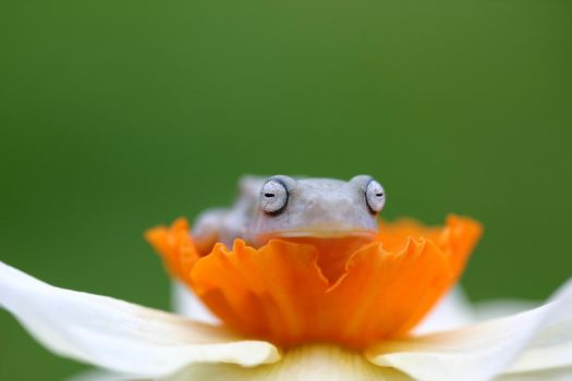 Flying frog on Daffodil by AngiWallace
