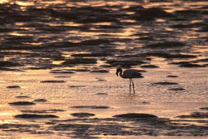 Flamingo at sunset by EyeOfBoa