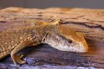 Savannah Monitor Profile by Caloxort