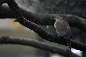 Dove in the Rain by beverlycrusher