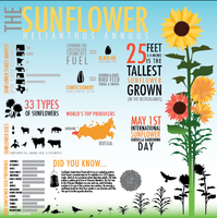 Sunflower Infographic by AnchorRust