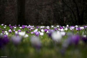 field of flowers by blacky-mo