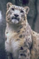 Snow Leopard 7 by Art-Photo