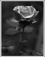 A Rose in Black and White by TRBPhotographyLLC