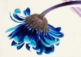 flower blue by bunnyolove
