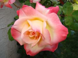 White and Pink Rose IX by EmmaL27