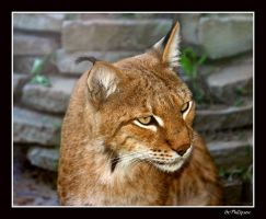 lynx by naturalwomen