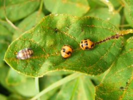 Ladybird pupae and larvae by Ranger-Roger-Reserve