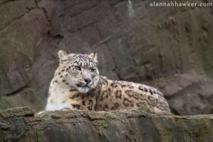 Snow Leopard 03 by Alannah-Hawker
