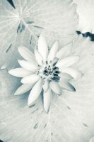 white lotus by dartz1