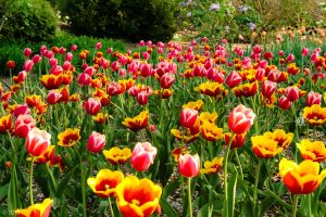 Orange, Red and Yellow Tulips by BowEchoMedia