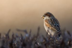 House Sparrow by c1n3kk