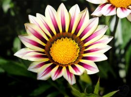 Sunrise over Gazania by Heart-Luck