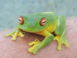 Green tree frog_I by GoblinStock