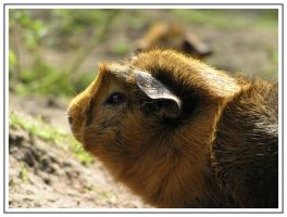 Guinea pig 2 by daantje87