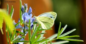 Kleine Kohlweissling / Small White by bluesgrass