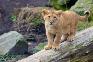 Lion Cub - I see you! by Frangster