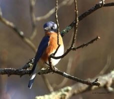 Afternoon Eastern Blue bird by natureguy