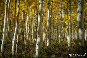 The Glow Between the Aspens by mjohanson