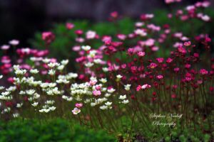Spring Flowers by Korni