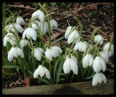 Snowdrop of spring 3 by XxFairyNaturexX