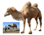 Camel PNG by Lubov2001