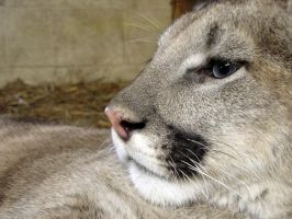 Profile of a Puma by HeWhoWalksWithTigers