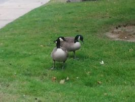 canadageese by kyupol