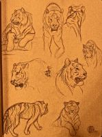 60 second tiger studies by PickedPockets