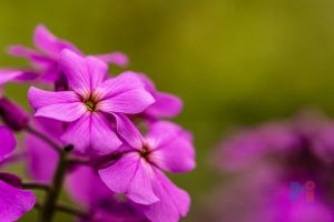 Purple Phloxs by MastersImagingPhotos