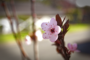Cherry Blossoms by piggyphoto