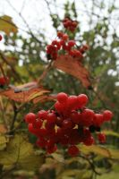 berries in the trees by LeandrasStock