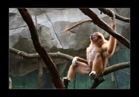 White Handed Gibbon 3 by Kira-R