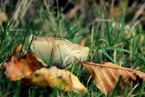 mushroom in leaves by Cathi-chan
