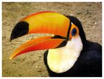Toco Toucan I by palantir6