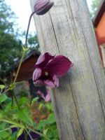 Another Clematis by 97Cas