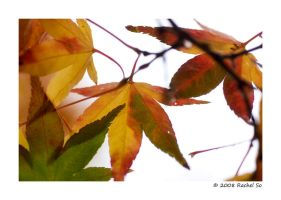 Autumn Maple Colors III by butterfly36rs