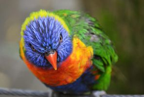 Rainbow Lorikeet by sophhks