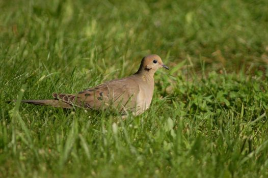 Mourning Dove by slingerman43