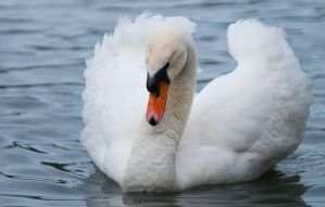 Mute Swan 03 by 88-Lawstock