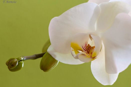 Orchid on green by tbensic