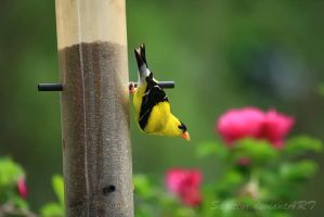 Goldfinch by Sagittor