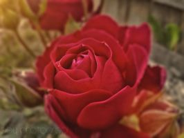 Rose by aby192
