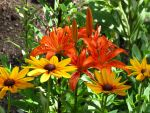 Orange Lilies and Rudbeckia Flowers by Kitteh-Pawz