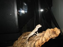 Spider Gecko by poisonous