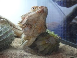 Bearded Dragon Protecting Cactus by OpalOsprey