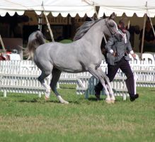 TW Arab Grey canter prance side by Chunga-Stock