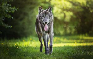 Wolfblood by Wolfskuss