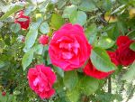Roses by chupaccabra